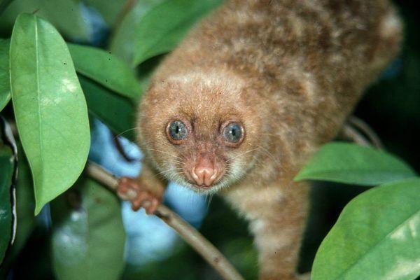 Menenal Kuskus Bermata Biru Binatang Endemik Indonesia