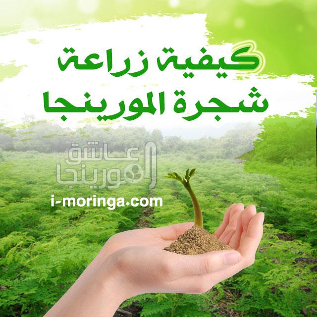 كيفية زراعة شجرة المورينجا