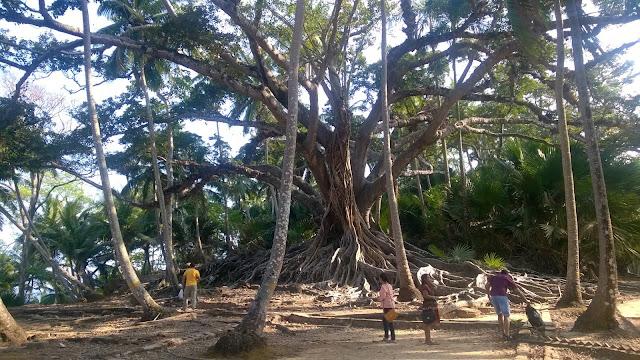 Ficus, Andaman, Trees