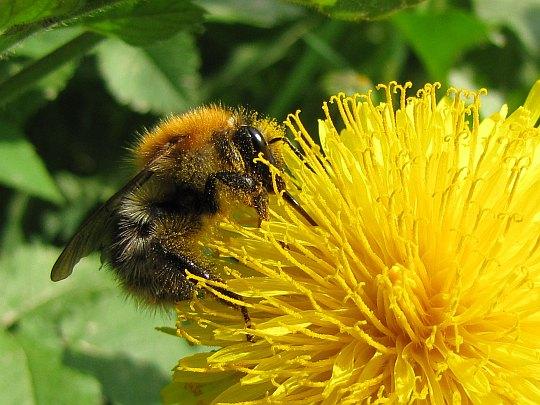 Pszczoła miodna (Apis mellifera).