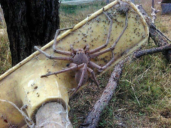 Aranha gigante Charlotte - 2