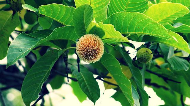Legenda Pohon Jabon Dan Krishna