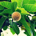 Legenda Pohon Jabon Dan Krishna, Tanaman Suci Kadamba
