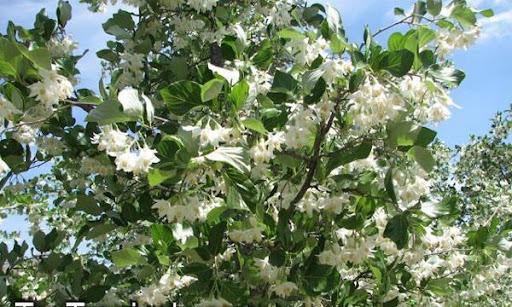 BUDIDAYA KEMENYAN (Styrax benzoin Dryand)