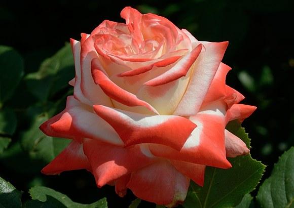 Imperatrice Farah сорт розы фото купить саженцы Минск питомник