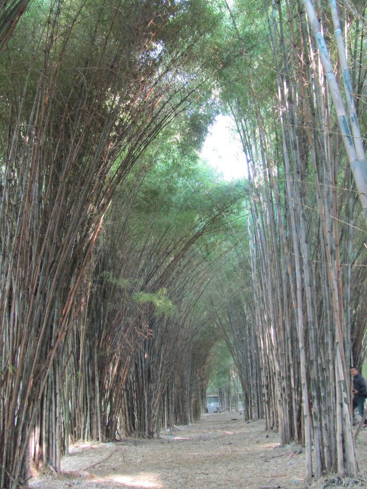 surabayakeren: Kebun Bambu Keputih, Taman Sakura (Surga Selfie Surabaya)