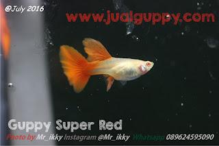 Jual Guppy Super Full Red,  Harga Guppy Super Full Red,  Toko Guppy Super Full Red,  Diskon Guppy Super Full Red,  Beli Guppy Super Full Red,  Review Guppy Super Full Red,  Promo Guppy Super Full Red,  Spesifikasi Guppy Super Full Red,  Guppy Super Full Red Murah,  Guppy Super Full Red Asli,  Guppy Super Full Red Original,  Guppy Super Full Red Jakarta,  Jenis Guppy Super Full Red,  Budidaya Guppy Super Full Red,  Peternak Guppy Super Full Red,  Cara Merawat Guppy Super Full Red,  Tips Merawat Guppy Super Full Red,  Bagaimana cara merawat Guppy Super Full Red,  Bagaimana mengobati Guppy Super Full Red,  Ciri-Ciri Hamil Guppy Super Full Red,  Kandang Guppy Super Full Red,  Ternak Guppy Super Full Red,  Makanan Guppy Super Full Red,  Guppy Super Full Red Termahal,  Adopsi Guppy Super Full Red,  Jual Cepat Guppy Super Full Red,  Kreatif Guppy Super Full Red,  Desain Guppy Super Full Red,  Order Guppy Super Full Red,  Kado Guppy Super Full Red,  Cara Buat Guppy Super Full Red,  Pesan Guppy Super Full Red,  Wisuda Guppy Super Full Red,  Ultah Guppy Super Full Red,  Nikah Guppy Super Full Red,  Wedding Guppy Super Full Red,  Flanel Guppy Super Full Red,  Special Guppy Super Full Red,  Suprise Guppy Super Full Red,  Anniversary Guppy Super Full Red,  Moment Guppy Super Full Red,  Istimewa  Guppy Super Full Red,  Kasih Sayang  Guppy Super Full Red,  Valentine  Guppy Super Full Red,  Tersayang Guppy Super Full Red,  Unik Guppy Super Full Red,