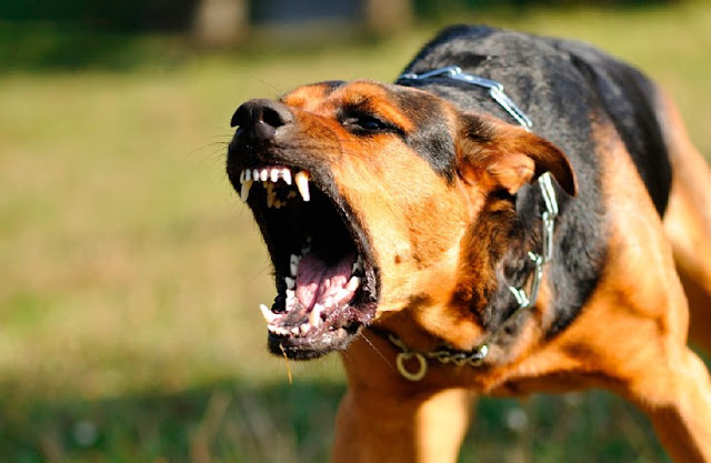 Why Dogs Are Aggressive and How to Stop It