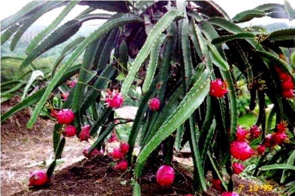 Kulit buah naga merupakan bab terluar yang melindungi daging buah supaya tetap berada da Manfaat Kulit Buah Naga untuk Kesehatan