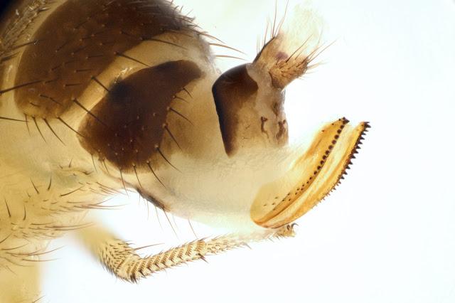 Detail with serrated ovipositor: Female Spotted Wing Drosophila (SWD, Drosophila suzukii)