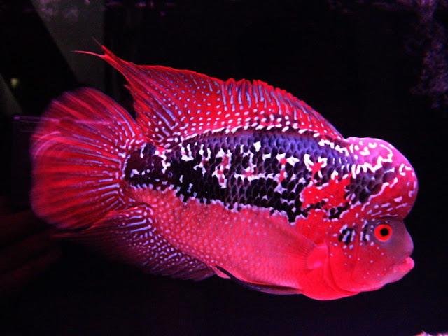 Dunia Ikan Hias - Ikan Air Tawar Louhan