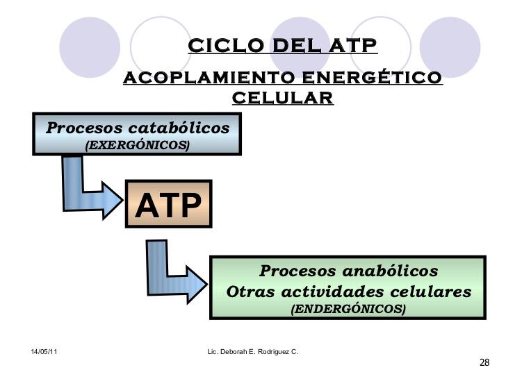 Importancia del acoplamiento energético en el metabolismo..