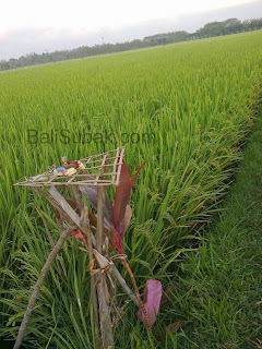 Balinese rice fields, the beauty of the rice plant