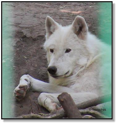 Polarwolf im Tierpark Köthen