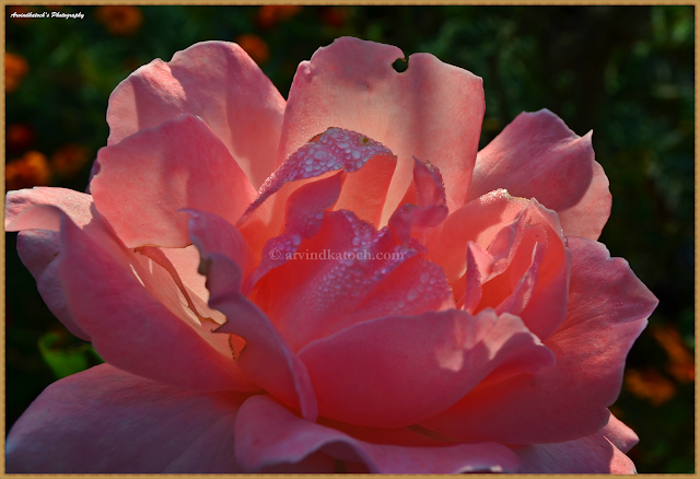 Pink Rose, Dew Drops, First Sunlight, HD Pic, Rose, Pink