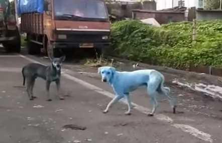 Ada Penampakan Anjing Berwarna Biru di India