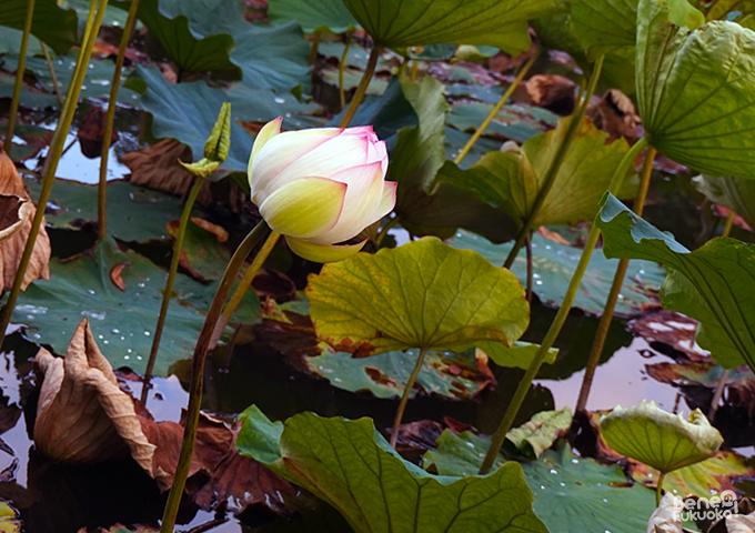 Lotus au parc Maizuru, Fukuoka