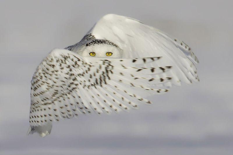 талисман сова на ясновидения ритуал заклинание