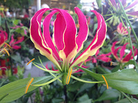 gloriosa superba flame lily