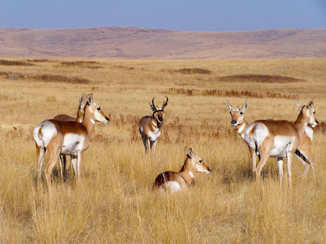 Pronghorn facts and information 3