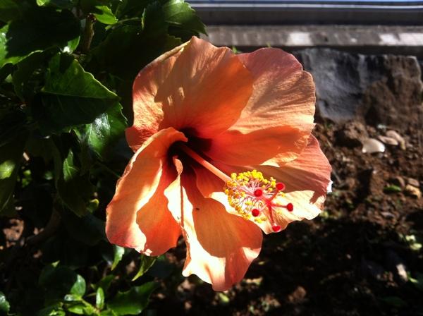 Hibiscus Tenerife
