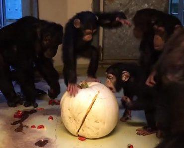 Des chimpanzés intrigués par une citrouille tentent de l'ouvrir