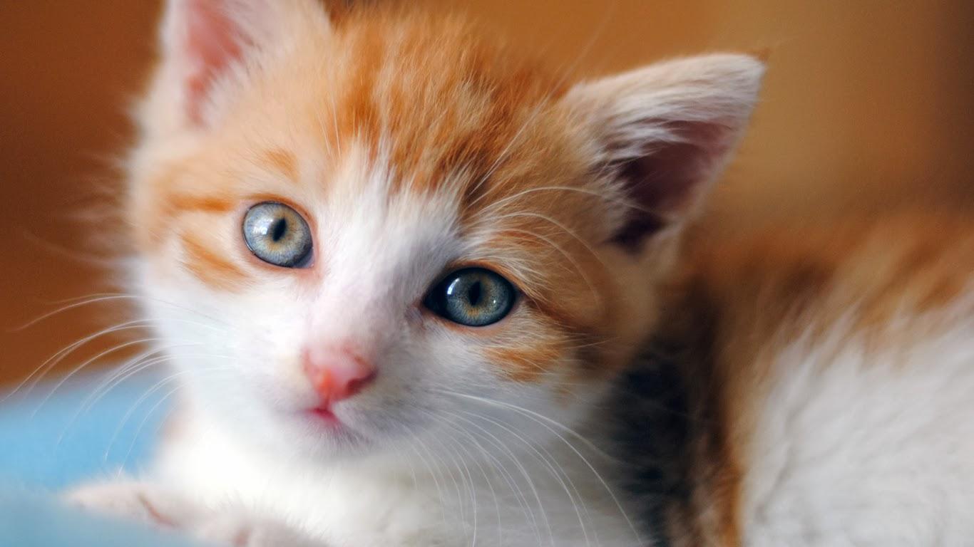 Wallpaper Kucing Lucu Siaran Dunia