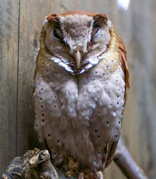 Birds of India - Oriental bay owl - Phodilus badius