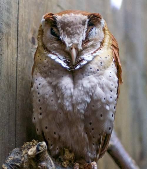 Birds of India - Oriental bay owl - Phodilus badius