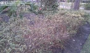 Azaleas Losing Leaves
