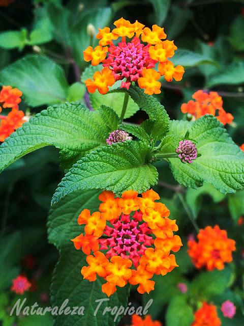 Flores de la Banderita Española, Lantana camara