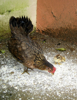 bantam hen with chick