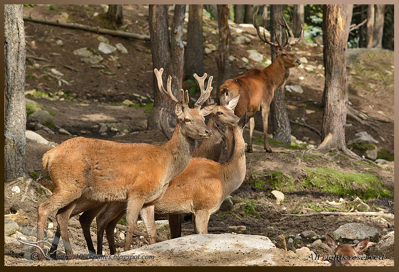 Pyrenean stags