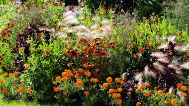 Tagetes: mucho más que plantas anuales