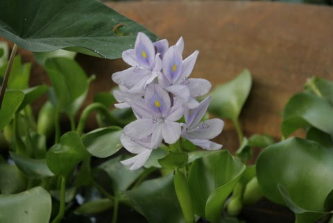 Gardencore: Water Hyacinth (Eichhornia crassipes)