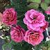 Hoa hồng ngoại Aoi rose – Hoa hồng Nhật tím đẹp nhất