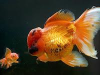 Ikan Mas Ini Dijual dengan Harga Rp74 Juta, Apa Istimewanya?