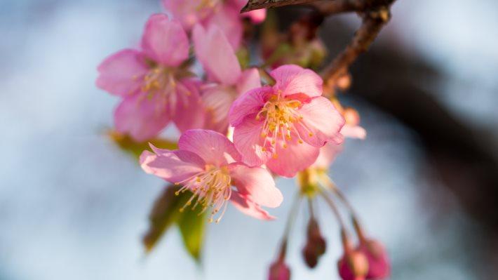 Wallpaper 2: Cherry Pink Flowers 2
