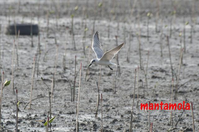Whiskered Tern (Chlidonias hybridus)