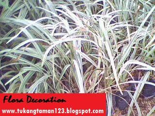 tukang taman menjual pohon alang alang putih atau gambar pohon jaburan dengan harga paling murah