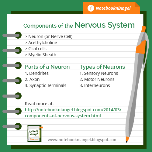 Components of the Nervous System
