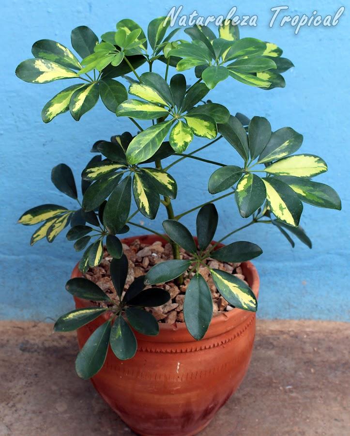 Variegación en la planta Schefflera arboricola. Cheflera