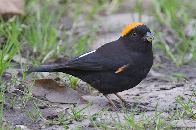 Gold-naped Finch