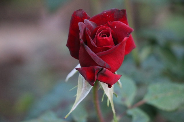 red rose wallpaper for love