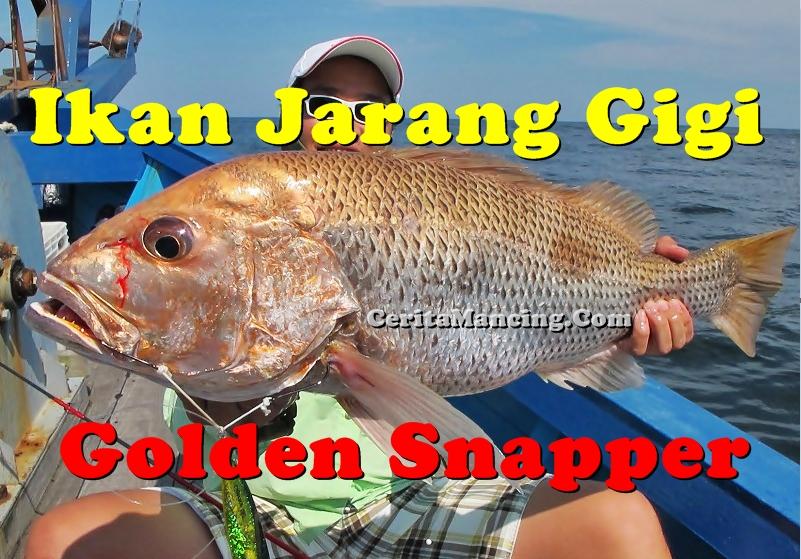 Ikan Jarang Gigi Edisi Strike 5 in 1 Serunya Mantap
