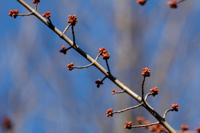 maple buds swelling red