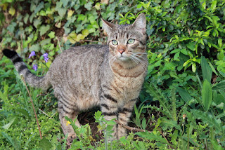 Mackerel tabby cat