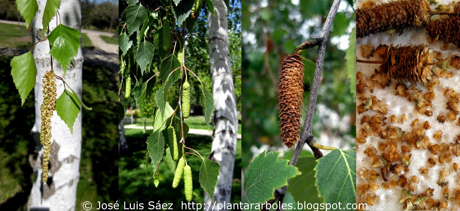 Plantar rboles y arbustos rboles aut ctonos de espa a for Arboles perennes en argentina