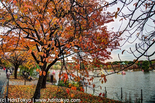 cherry trees by Shinobazu pond, Ueno park, Tokyo. those cherry tree have autumn leaves.