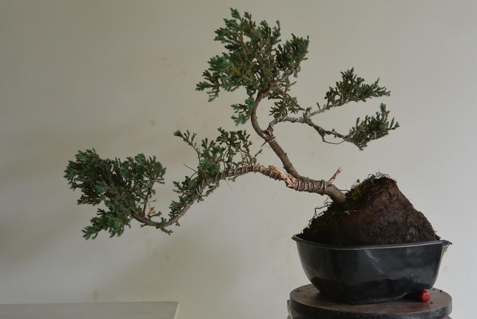 Kapilaascreations Bonsai Wiring Trunk Shaping And
